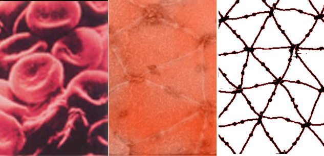 red blood cells research paper Biology term papers (paper 2208) on red blood cell report: a red blood cell can start in the big left toe of a person and travel all around the body the free biology research paper (red blood cell report essay.