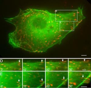 BAEC cells