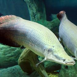 Piranha-proof fish scales offer inspiration for better armor