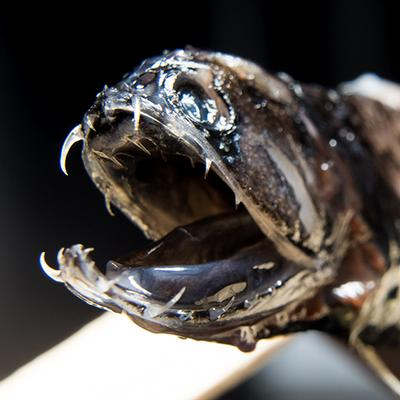 Researchers discover what makes deep-sea dragonfish teeth transparent