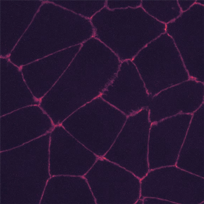 Measuring cell-cell forces using snapshots from time-lapse videos of cells