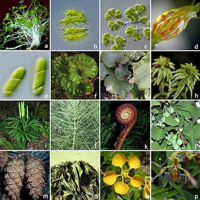 Study provides framework for 1 billion years of green plant evolution