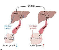 Flipping a metabolic switch to slow tumor growth