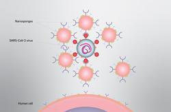 Nanosponges Could Intercept Coronavirus Infection